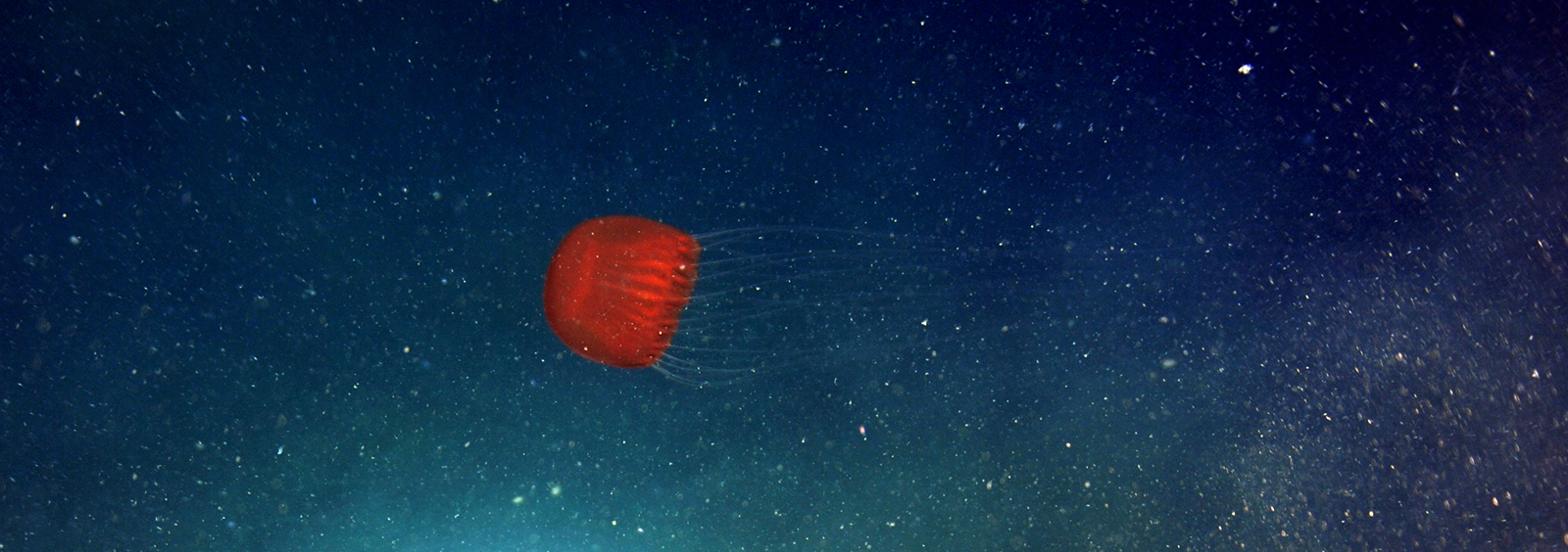 Jellyfish at depth 892m in Barkley Canyon Pacific Coast near Vancouver Island credit Ocean Networks Canada